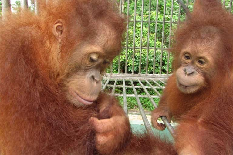 Ganteng and Ginting, the offspring of Leuser and Gober, two blind Sumatran orangutans. Photo courtesy of SOCP