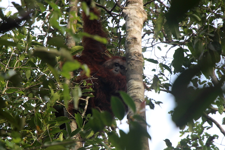 A translocated flanged male orangutan in his new home in Borneo's Bagantung forest. Photo by Melati Kaye.