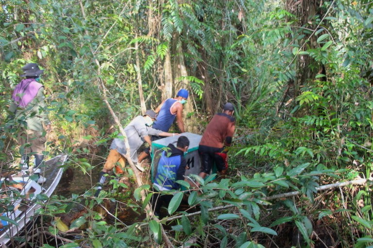 A BOSF rescue team releases an orangutan in Borneo's Bagantung forest. Photo by Melati Kaye.