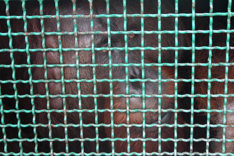 A flanged male orangutan peers out of a metal cage during a translocation operation along Borneo's Mangkutup river. Photo by Melati Kaye.