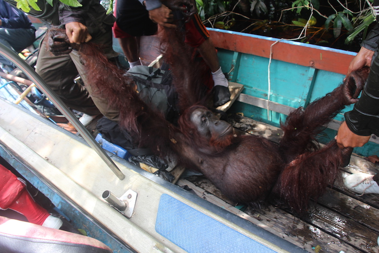 BOSF rescue team members bring a female orangutan onto their translocation boat on Borneo's Mangkutup river. After a check up, the team will place the animal in a metal cage for transfer to Bagantung forest nine miles away. Photo by Melati Kaye.