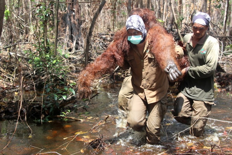 BOSF rescue team members carry a sedated orangutan out of a burned-out forest patch during a translocation operation along Borneo's Mangkutup river. Photo by Melati Kaye.