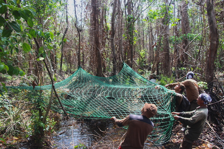 A BOSF rescue team sets up a rope net for a treed and sedated orangutan to fall into during a translocation operation along Borneo's Mangkutup River. Photo by Melati Kaye.