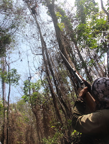 A BOSF sniper trains a tranquilizer dart gun on a treed orangutan during a translocation operation along Borneo's Mangkutup River. Photo by Melati Kaye.