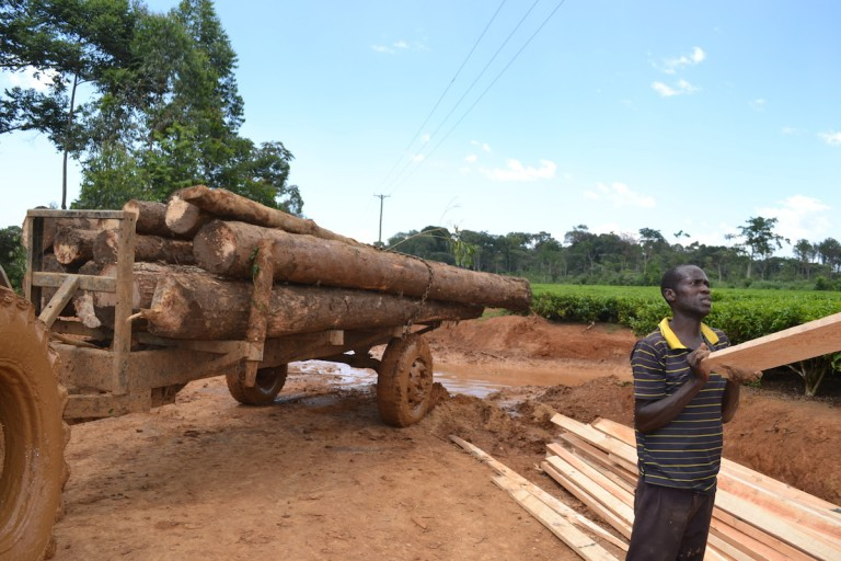 Vehicles and tractors ferry timber from the forest. Photo by Isaiah Esipisu.