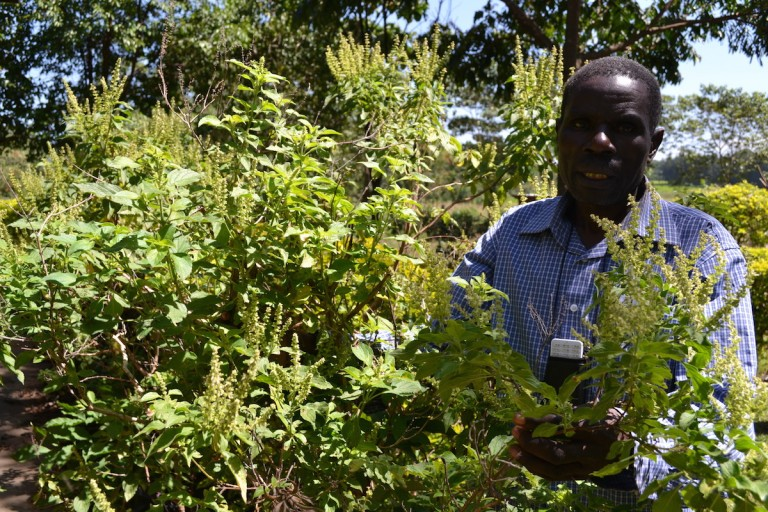 Thomas Mmasi, founder of MFCG, displays mature Ocimum plants grown on his farm. Photo by Isaiah Esipisu.