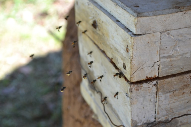 Stingless bees are raised by Muliru group largely for medicinal honey production and pollination. Photo by Isaiah Esipisu.