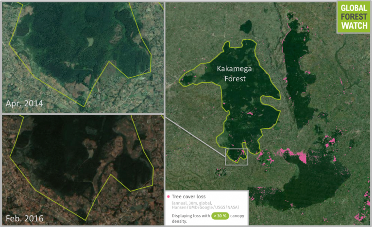 Data from the University of Maryland and visualized by Global Forest Watch show spots of heavy tree cover loss in Kakamega and around it during the past decade. Nearby more montane forests have also been affected. Satellite imagery captured last month and provided by UrtheCast show tree cover loss has recently ramped up in Kakamega's southern portion.