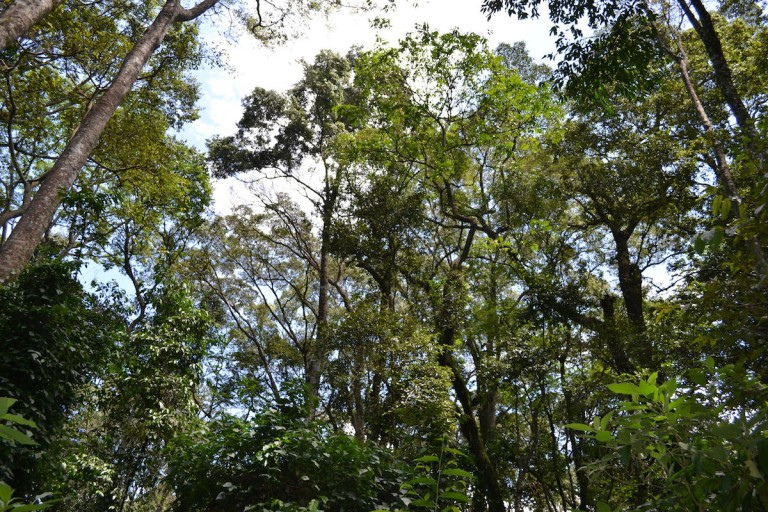 Rainforest canopy in Kakamega Forest. Photo by Isaiah Esipisu.