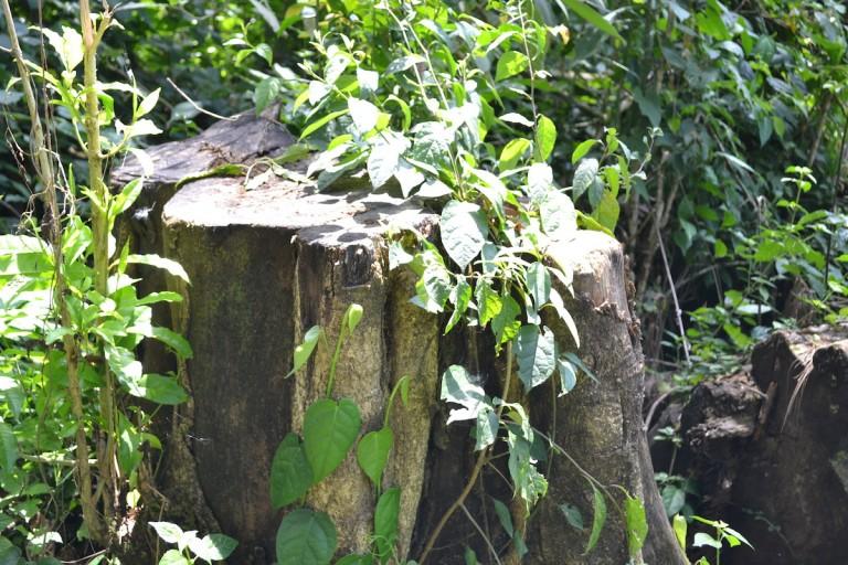 The stump of a felled tree inside Kakamega Forest. Photo by Isaiah Esipisu.