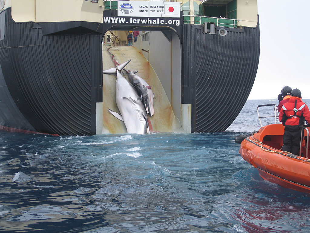 A minke whale and her one-year-old calf are dragged aboard the Nisshin Maru, a Japanese whaling vessel (2008). Photo courtesy of the Australian Customs and Border Protection Service.