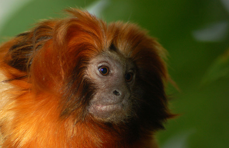 SavingSpecies helps fund conservation efforts by local groups such as the Golden Lion Tamarin Association. Photo from Wikimedia Commons, CC BY-SA 2.0.