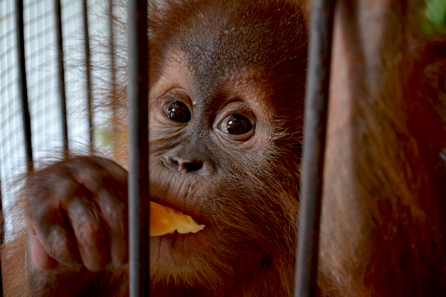 One of the three baby orangutans recovered by Riau authorities in November 2015. Photo courtesy of WWF