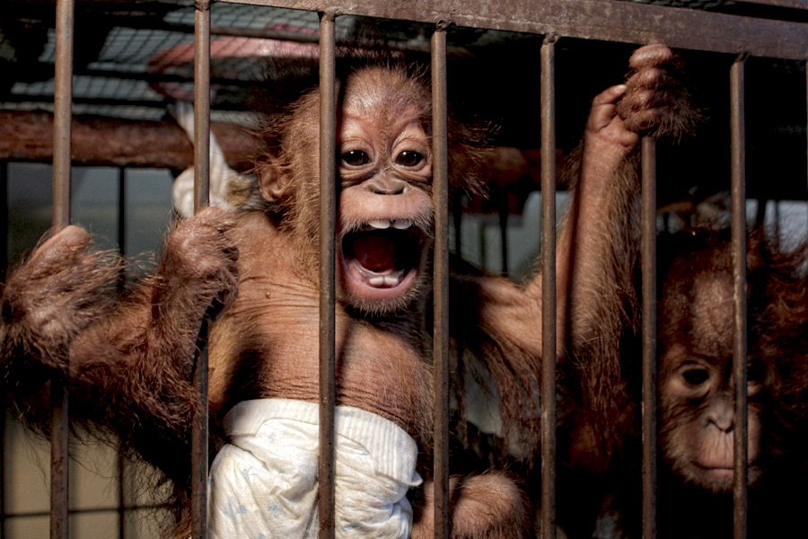 The baby Sumatran orangutans after their recovery by authorities in Riau, Indonesia, in November 2015. Photo courtesy of WWF