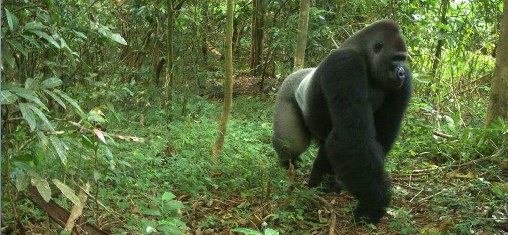 A large Cross River gorilla captured in a camera trap.