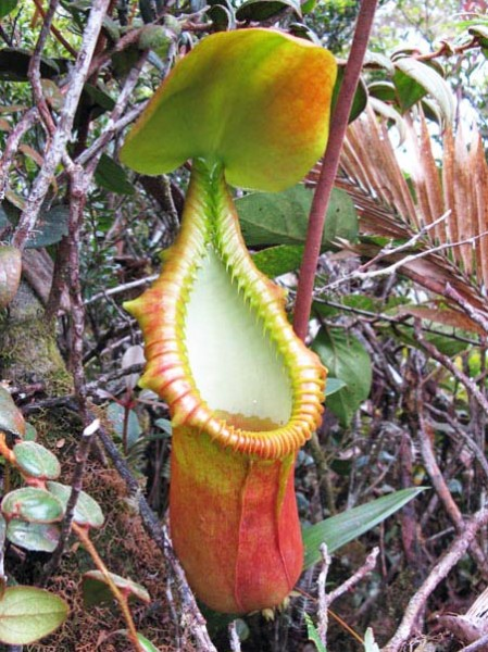 The large-leaved pitcher-plant (Nepenthes macrophylla) is only found in the forests of one mountain range at 2,000 - 2,600 meters in elevation. Photo in the public domain.