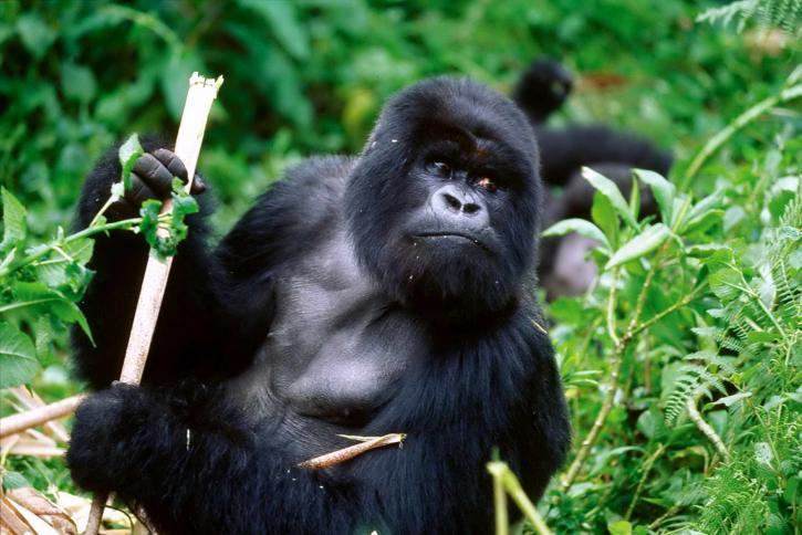 Silver-back Cross River gorilla feeding on stem. Photo credit: Ruggiero Richard.