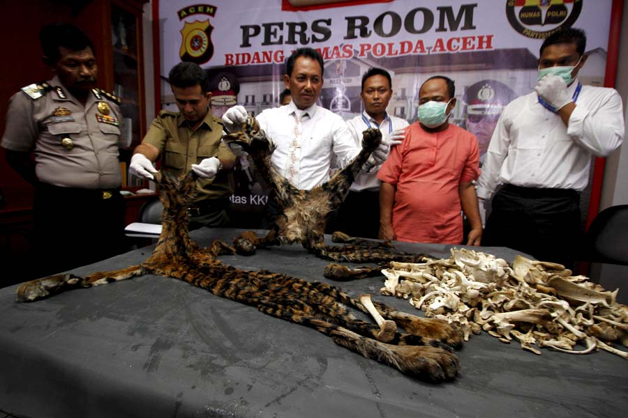 Tiger parts seized by the Aceh Police last week. Photo by Junaidi Hanafiah