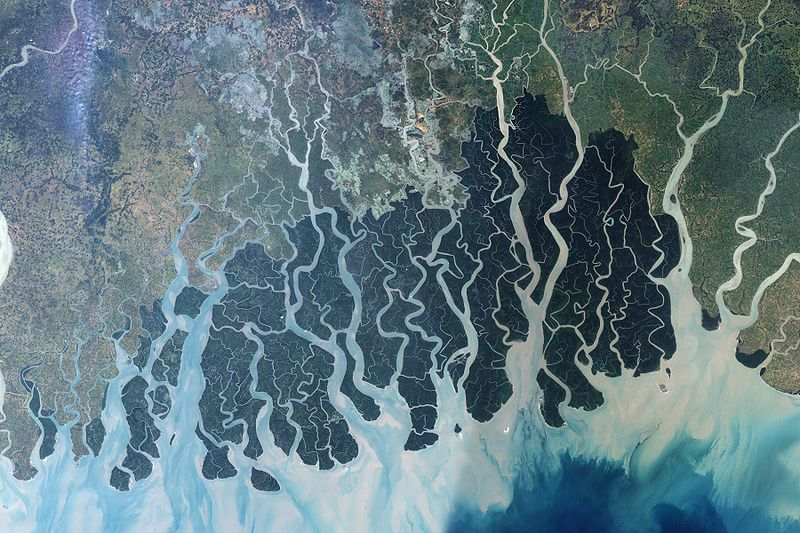 This satellite image shows the forest in the protected area. The Sundarbans appears deep green, surrounded to the north by a landscape of agricultural lands, which appear lighter green, towns, which appear tan, and streams, which are blue. Ponds for shrimp aquaculture, especially in Bangladesh, sit right at the edge of the protected area, a potential problem for the water quality and biodiversity of the area. The forest may also be under stress from environmental disturbance occurring thousands of kilometers away, such as deforestation in the Himalaya Mountains far to the north. Image by NASA (Public Domain).