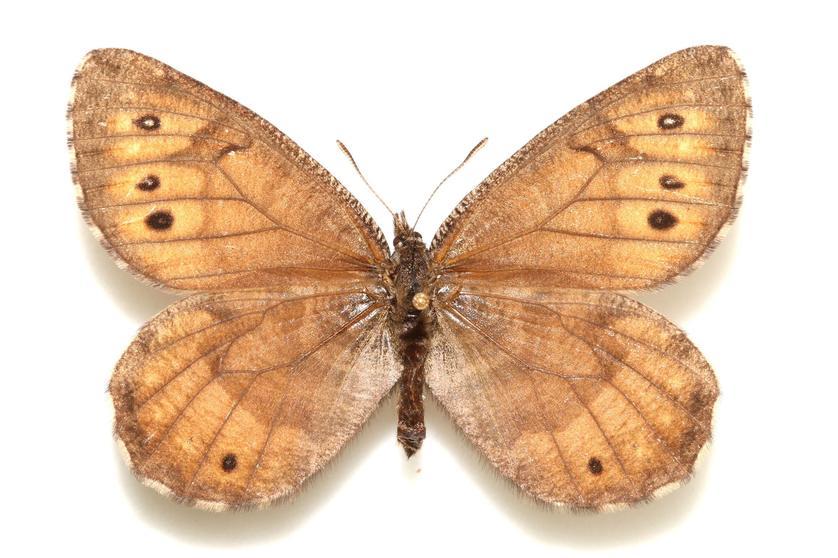 The newly discovered Tanana Arctic butterfly is known only from the Tanana-Yukon River Basin. Photo by Andrew Warren.