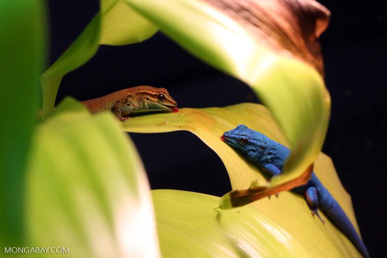 Male and female blue geckos in Tanzania. Photo by Rhett Butler.