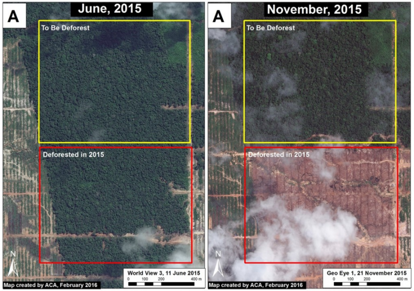 High-resolution satellite images show a before-and-after of the recently deforested area. MAAP researchers say the forest in the upper portion of the image set will likely be deforested if UC continues with plantation development.