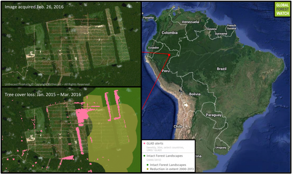 The United Cacao plantation is located in Peru's northeastern extent. Recently released data from the University of Maryland (GLAD alerts) visualized via Global Forest Watch show large areas of tree cover loss that extend into an Intact Forest Landscape.