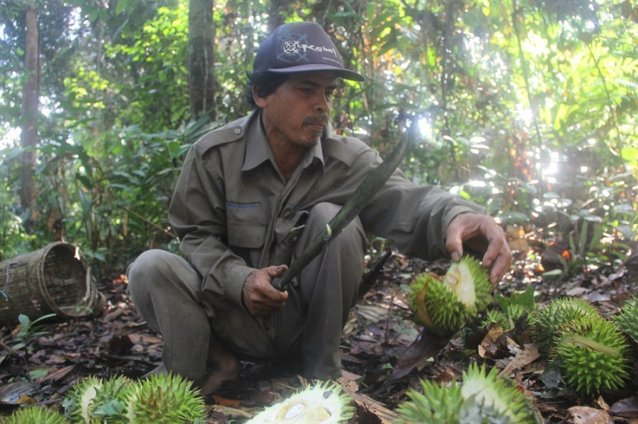 Petrus Asuy, a Dayak Benuaq man from Muara Tae, East Kalimantan, cuts out the insides of a durian-like fruit in the forest near his home. Photo by Philip Jacobson