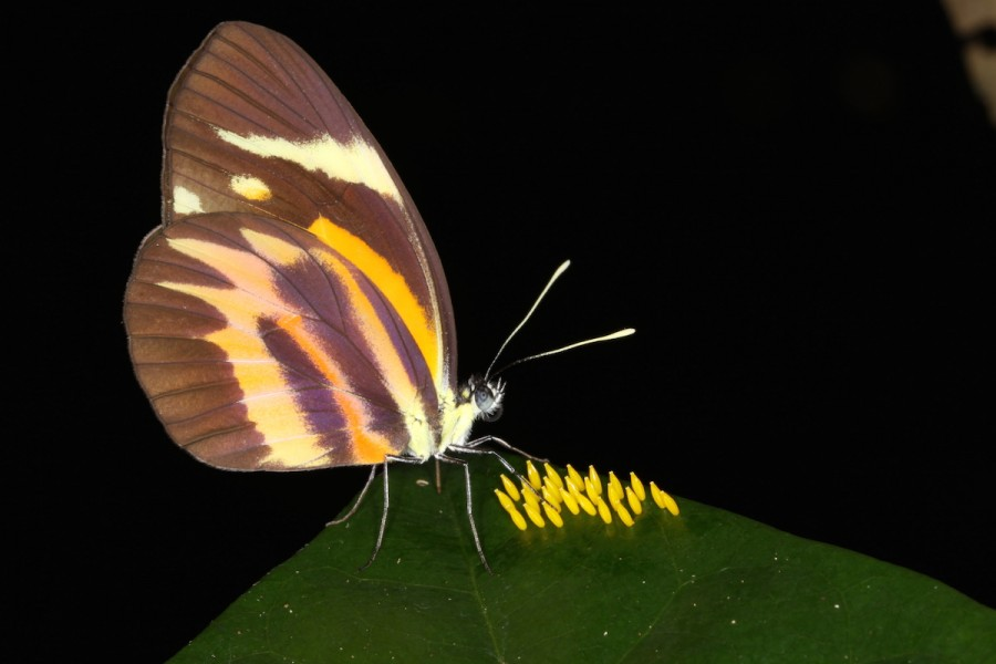 This butterfly's name is Pamela (Perrhybris pamela). Photo by Mileniusz Spanowicz / WCS.