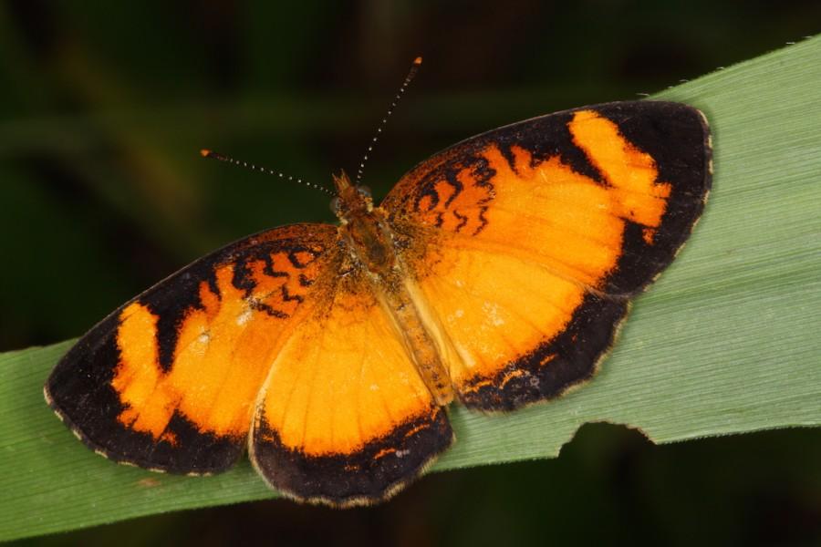 A crescent butterfly (Tegosa gentina). Photo by Mileniusz Spanowicz / WCS.