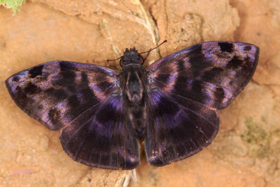 A common bentwing (Ebrietas anacreon). Photo by Mileniusz Spanowicz / WCS.