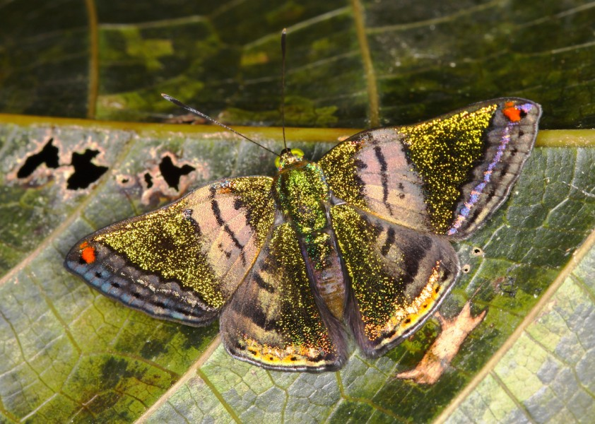 A Castalia green mantle (Caria castalia). Photo by Mileniusz Spanowicz / WCS.