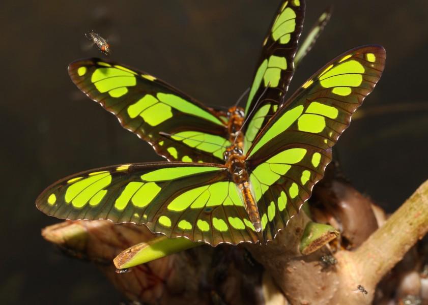 Malachite (Siproeta apaphus). Photo by Mileniusz Spanowicz / WCS.