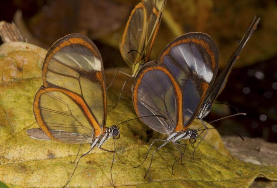Clearwing (Episcada hymenaea ssp). Photo by Mileniusz Spanowicz / WCS.
