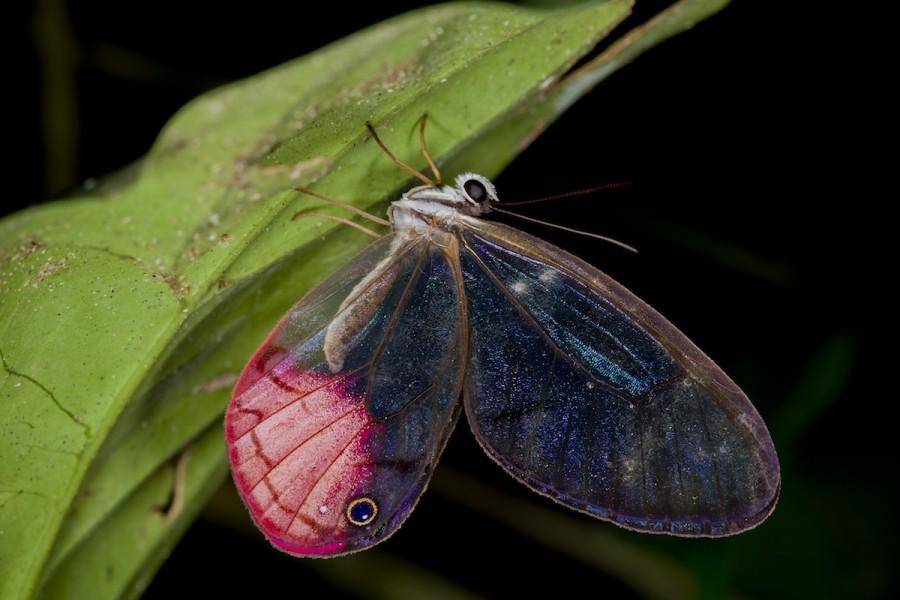 The aptly named blushing phantom (Cithaerias pireta tambopata). Photo by Mileniusz Spanowicz / WCS.