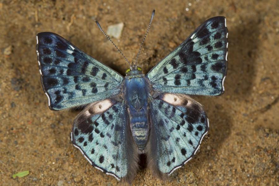 Glittering sapphire (Lasaia agesilas). Photo by Mileniusz Spanowicz / WCS.