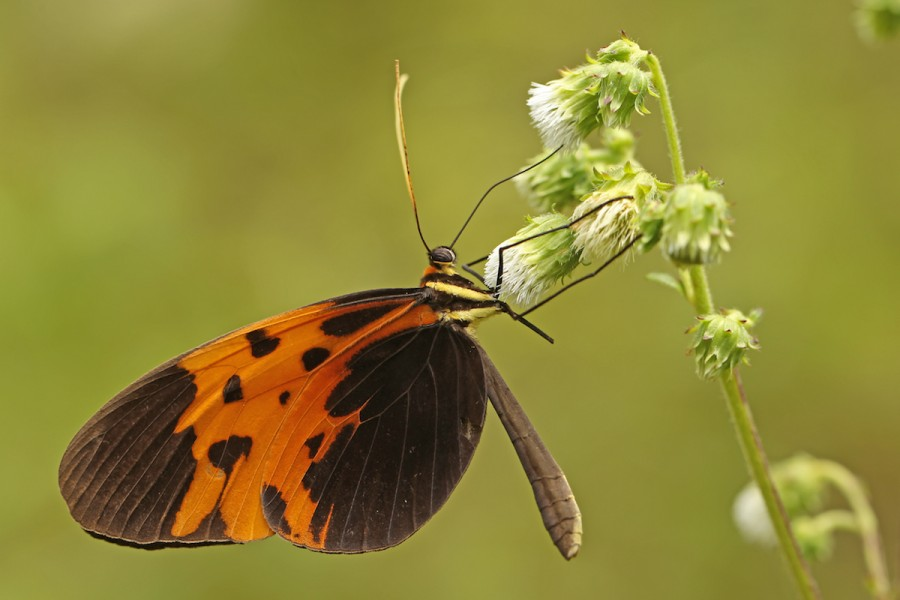 Another clearwing (Melinaea marsaeus ssp). Photo by Mileniusz Spanowicz / WCS.