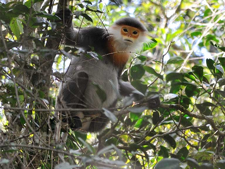 The grey-shanked douc is one of 11 Critically Endangered primates in Vietnam, making Vietnam a priority region for primate conservation. Photo © Nguyen Van Truong/Fauna & Flora International