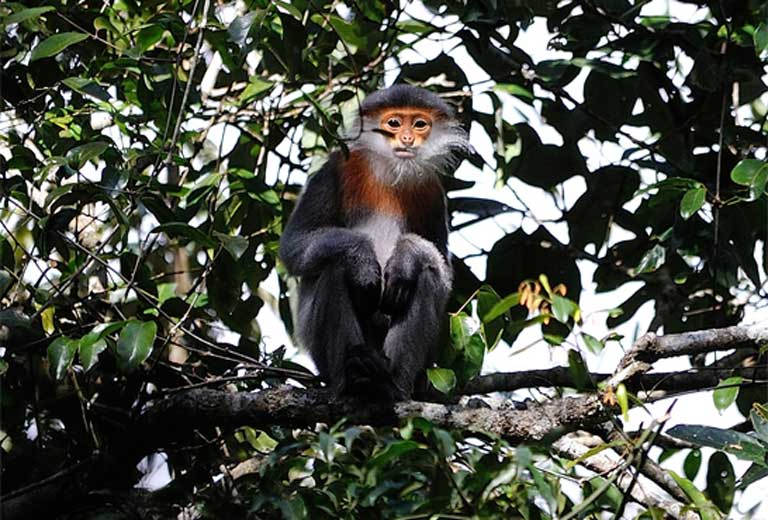 A new population of 500 grey-shanked doucs has been discovered in Vietnam, dramatically boosting the known population of this Critically Endangered primate. Photo © Nguyen Van Truong/Fauna & Flora International