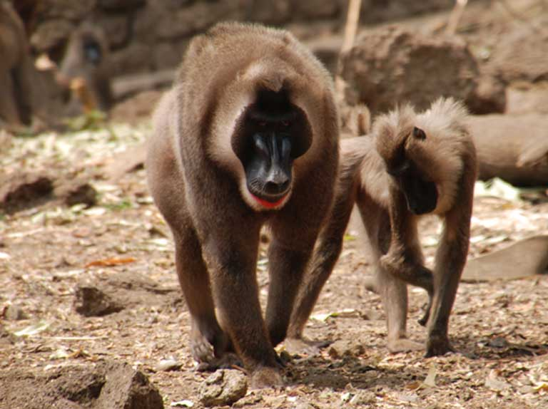 The drill is an endangered short-tailed monkey found in Cross River National Park
