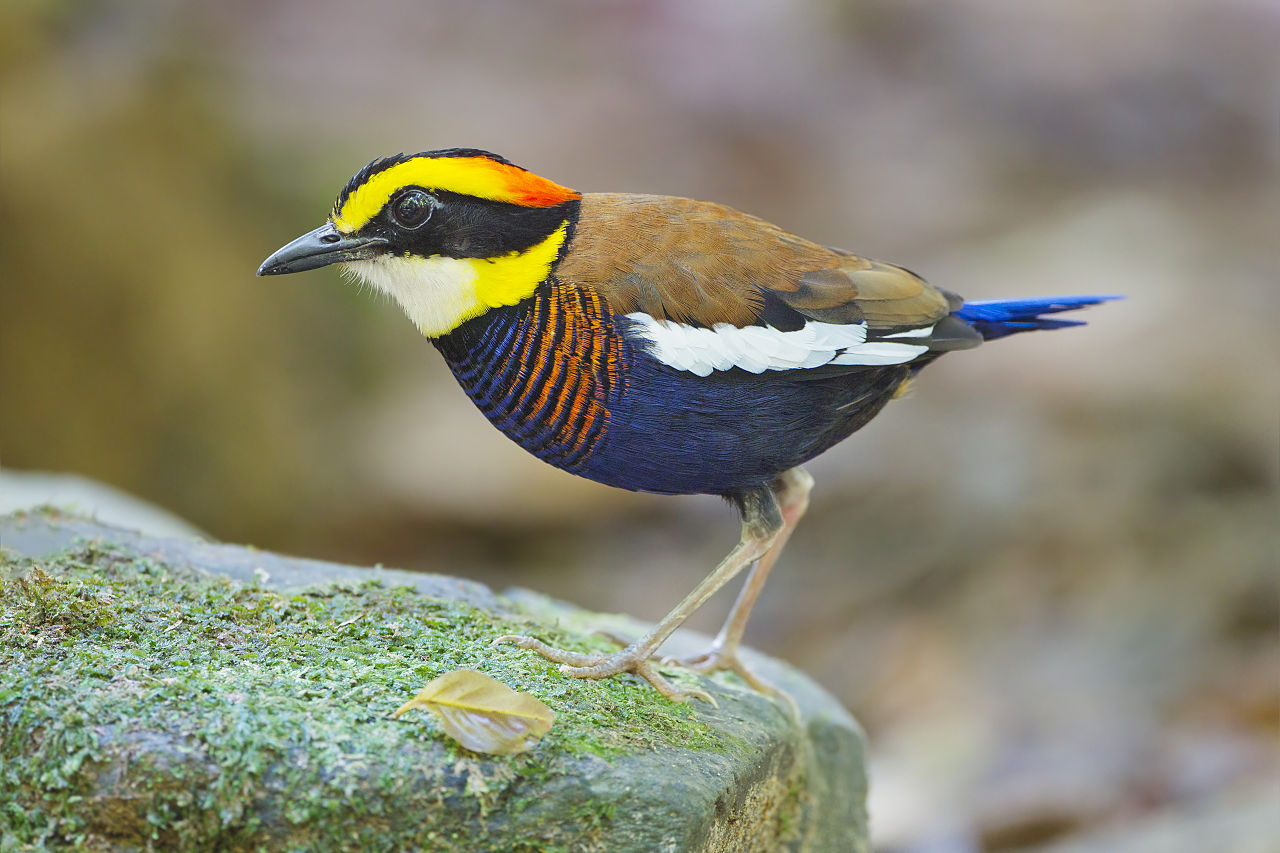 The Malayan banded pitta is a commonly spotted bird in Indonesia's bird markets. Photo by JJ Harrison (Wikimedia Commons CC BY-SA 3.0).