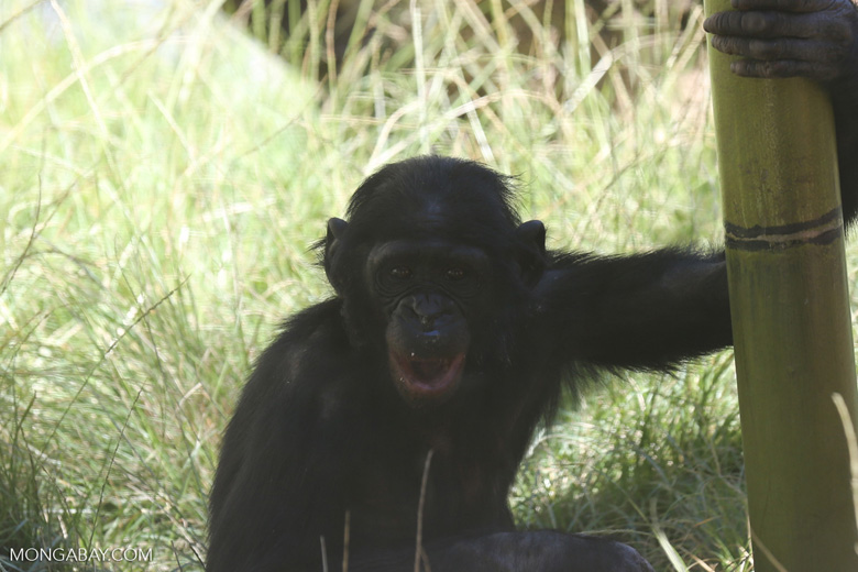 Bonobo (Pan paniscus), photo by Rhett Butler.
