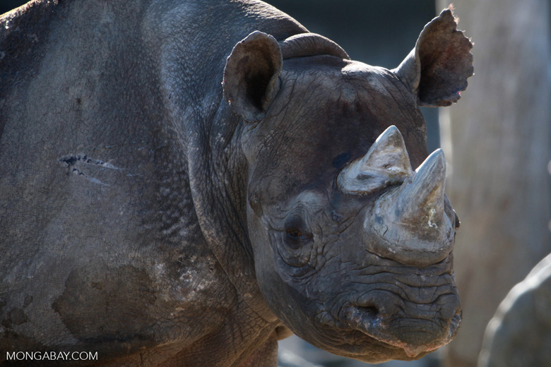 Female black rhino, photo by Rhett Butler.