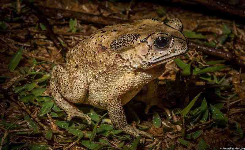 Scientists suspect that activities associated with the Ambotavy mine processing plant may have accidentally introduced the Asian toads to Madagascar. Photo by James Reardon.