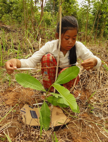 A girl measures the crown of a newly planted tree in Cambodia. Photo by S. Elliott.