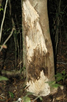 Aquilaria tree showing darker agarwood. Photo from Wikimedia Commons, CC BY-SA 3.0.