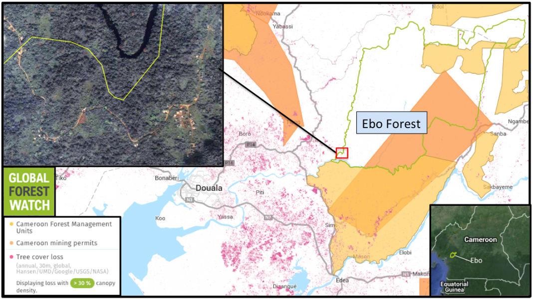 Ebo Forest has experienced less human impact than surrounding areas to the southwest, with the forest monitoring platform Global Forest Watch showing only 246 hectares of tree cover loss from 2001 through 2014. However, almost half of that loss occurred in just the two years between 2013 and 2014, indicating disturbance may be ramping up in the area. Indeed, about a third of Ebo Forest is covered by a large mining concession and a management unit that allows selective logging. Satellite imagery from 2015 (upper left inset) also shows what appear to be roads and a human settlement inside Ebo's boundaries.
