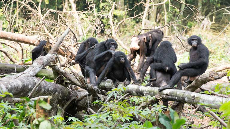 Bonobos grooming and relaxed on a fallen tree in a cassava field. Photo by Takeshi Furuichi