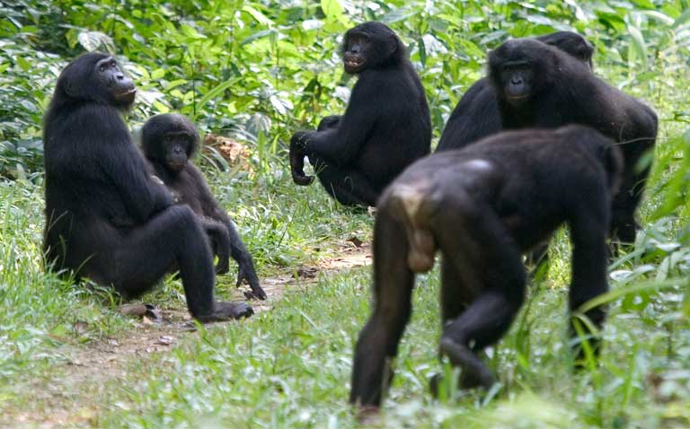 Bonobos taking a rest on a road between villages. Photo by Takeshi Furuichi
