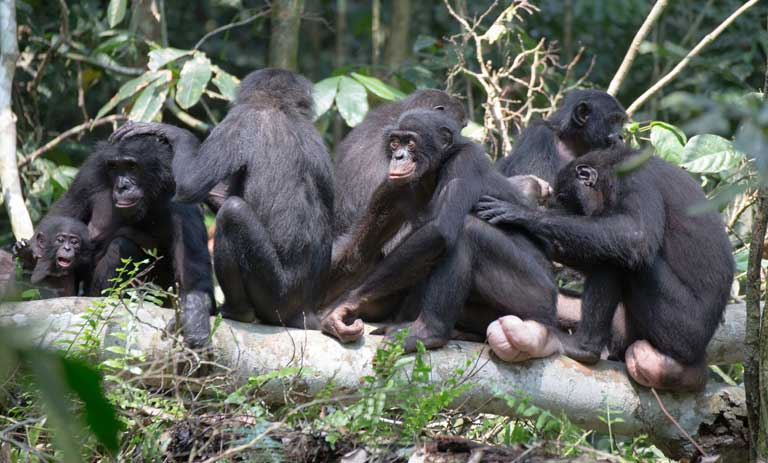 A female aggregation of bonobos. Photo by Takeshi Furuichi